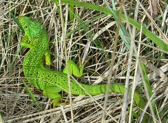 Green-lizard-in-France-male-lezard-vert
