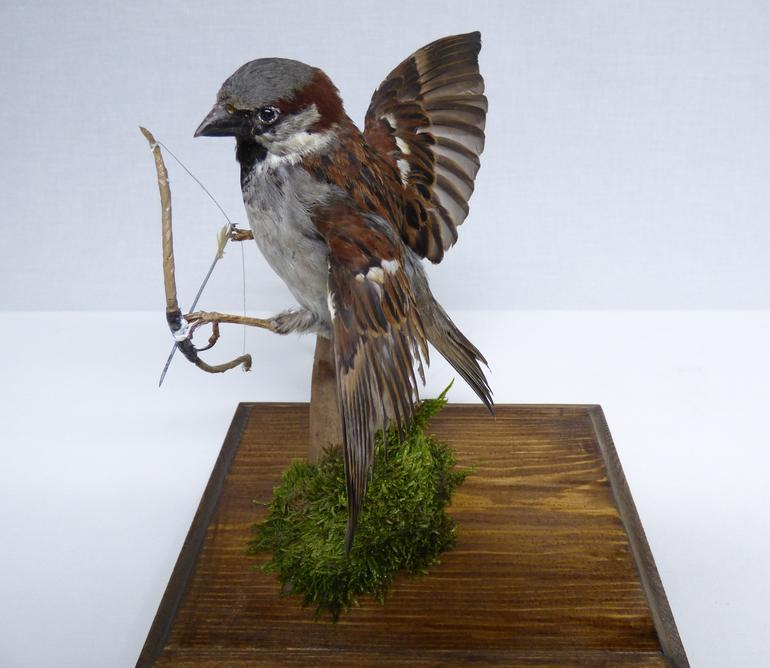 Adrian Johnstone, professional Taxidermist since 1981. Supplier to private collectors, schools, museums, businesses, and the entertainment world. Taxidermy is highly collectable. A taxidermy stuffed Sparrow With A Bow And Arrow (9109), in excellent condition.
