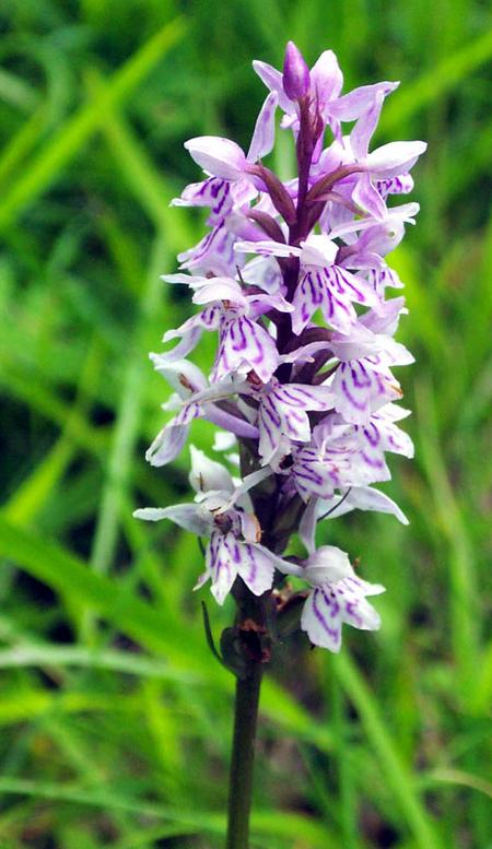 Common-spotted-orchid-in-France