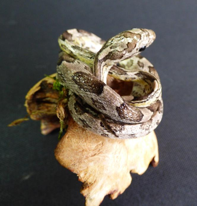 Adrian Johnstone, professional Taxidermist since 1981. Supplier to private collectors, schools, museums, businesses, and the entertainment world. Taxidermy is highly collectable. A taxidermy stuffed Corn Snake (63), in excellent condition.