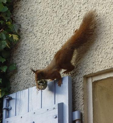 Red squirrel in France