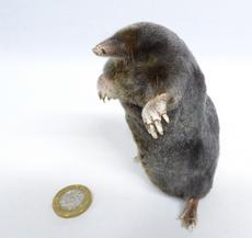 Adrian Johnstone, professional Taxidermist since 1981. Supplier to private collectors, schools, museums, businesses, and the entertainment world. Taxidermy is highly collectable. A taxidermy stuffed Mole (655) in excellent condition. Mobile: 07745 399515 Email: adrianjohnstone@btinternet.com