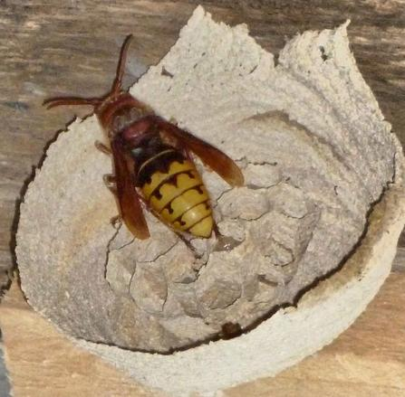 Hornet with initial nest in France