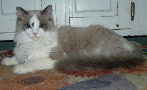 East Coast Ragdoll - Ragdoll Kittens For Sale, Ragdolls For