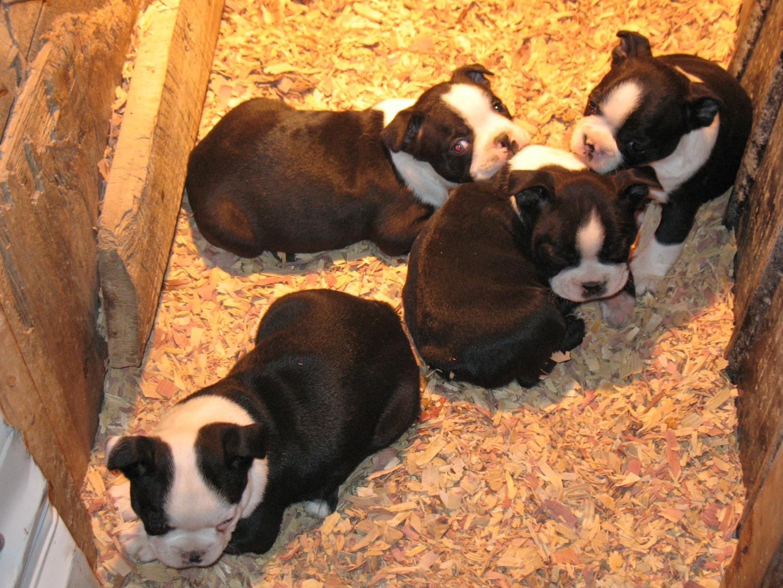 Moore's Boston Terriers - Moore's Family Farm
