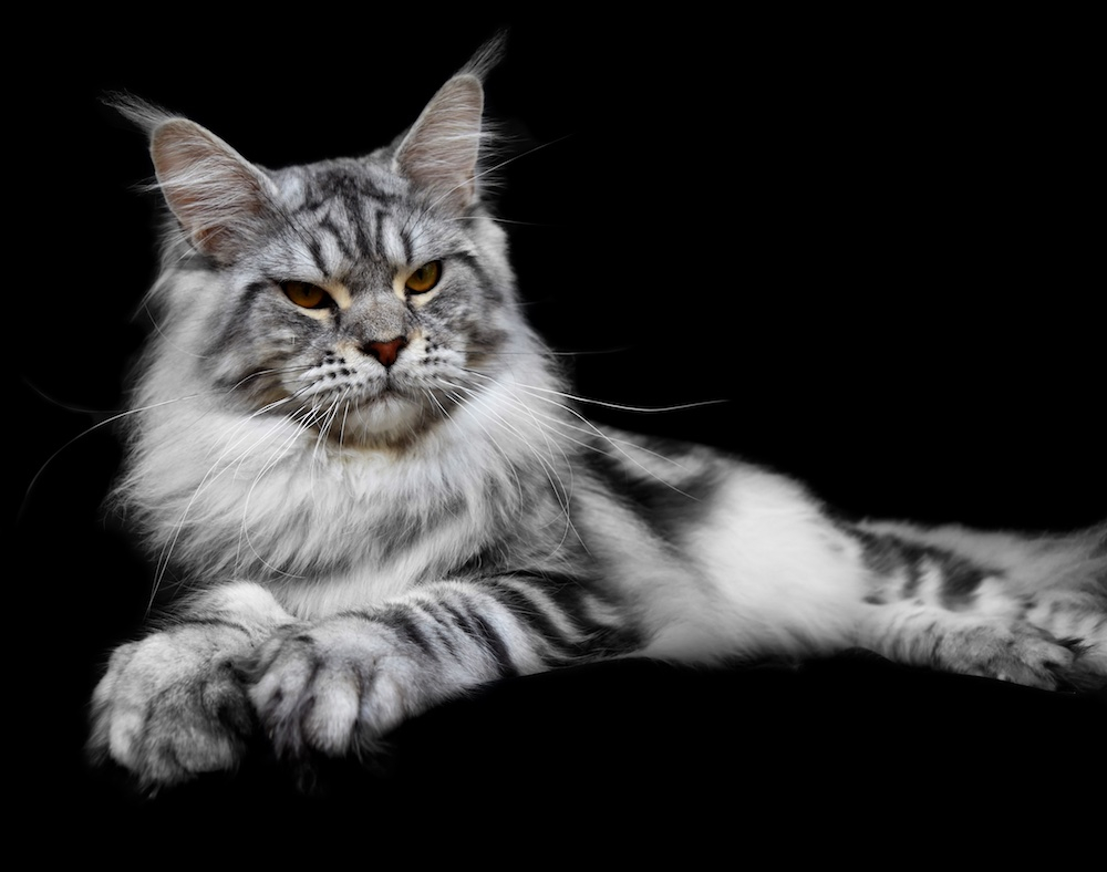 Home - Maine Coon Breeder Seattle