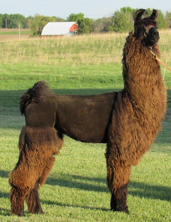 CVL Pride's Whispering Angel: Top ILA Halter Llama of 2016
