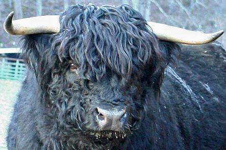 Scottish highland cattle, Highland cattle, Black highland cattle, Highland cattle calves