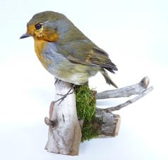 Adrian Johnstone, professional Taxidermist since 1981. Supplier to private collectors, schools, museums, businesses, and the entertainment world. Taxidermy is highly collectible. A taxidermy stuffed adult Robin (9875), in excellent condition.
