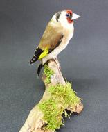 Adrian Johnstone, professional Taxidermist since 1981. Supplier to private collectors, schools, museums, businesses, and the entertainment world. Taxidermy is highly collectable. A taxidermy stuffed Goldfinch (9627), in excellent condition.