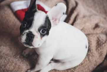 Crate Training Your French Bulldog