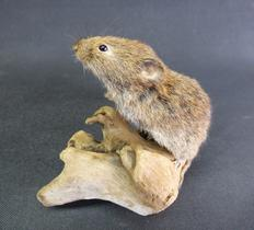 Adrian Johnstone, professional Taxidermist since 1981. Supplier to private collectors, schools, museums, businesses, and the entertainment world. Taxidermy is highly collectable. A taxidermy stuffed Field Vole (19) in excellent condition.