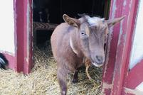 Star, Nigerian Dwarf goat at my peeps farm.