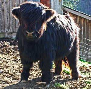 Highland cattle black,Scottish highland cattle,Black highland cattle,Highland cattle, Highland calves