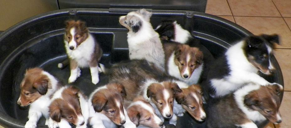Shelties of True Blue Ranch, Nacogdoches, TX, Shetland Sheepdog Puppies