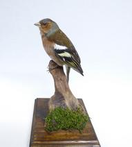 Adrian Johnstone, professional Taxidermist since 1981. Supplier to private collectors, schools, museums, businesses, and the entertainment world. Taxidermy is highly collectable. A taxidermy stuffed Chaffinch (9888), in excellent condition. Mobile: 07745 399515 Email: adrianjohnstone@btinternet.com