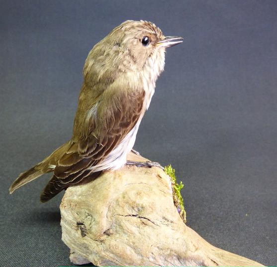 Adrian Johnstone, Professional Taxidermist since 1981. Supplier to private collectors, schools, museums, businesses and the entertainment world. Taxidermy is highly collectable. A taxidermy stuffed Spotted Flycatcher (9354), in excellent condition.