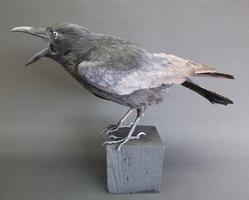 Adrian Johnstone, professional Taxidermist since 1981. Supplier to private collectors, schools, museums, businesses, and the entertainment world. Taxidermy is highly collectable. A taxidermy stuffed Carrion Crow (no:5), in excellent condition.