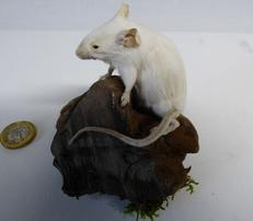 Adrian Johnstone, Professional Taxidermist since 1981. Supplier to private collectors, schools, museums, businesses and the entertainment world. Taxidermy is highly collectable. A taxidermy stuffed White Mouse (95), in excellent condition.