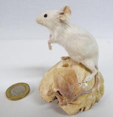 Adrian Johnstone, Professional Taxidermist since 1981. Supplier to private collectors, schools, museums, businesses and the entertainment world. Taxidermy is highly collectable. A taxidermy stuffed White Mouse (83), in excellent condition.