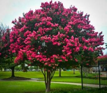 Flowering trees tuscarora crape myrtle tuscarora crape myrtles give you hundreds of coral pink flowers perfect for barren areas or trouble spots these crapes can grow mightylinksfo
