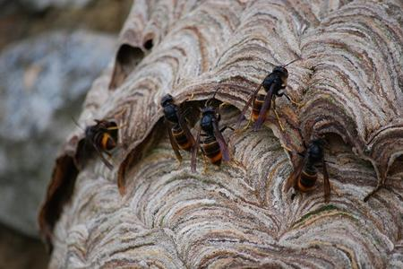 Asian-hornet-nest-in-a-French-wall