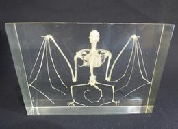 Adrian Johnstone, professional Taxidermist since 1981. Supplier to private collectors, schools, museums, businesses, and the entertainment world. Taxidermy is highly collectable. Bat Skeleton In Resin (1), in excellent condition.