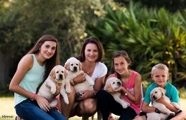 Horne's Labradors - Labrador Puppies For Sale, Labrador Stud