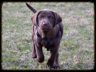 Chocolate Lab Puppy Training off Leash