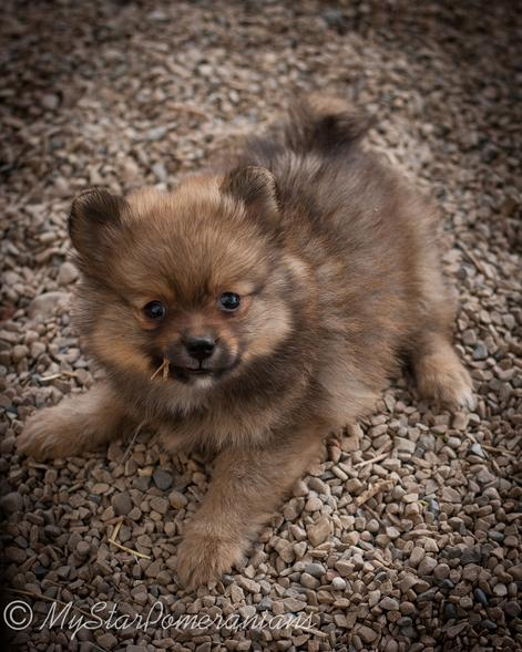 Red Sable Male Pomeranian Puppy