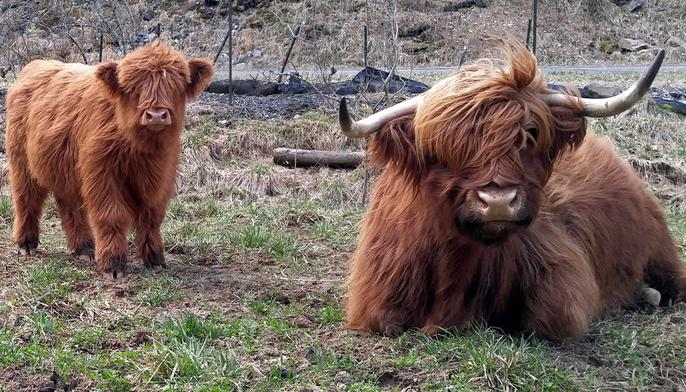 Scottish highland cattle,Black highland cattle,Highland cattle black,Highland cattle, Highland calves