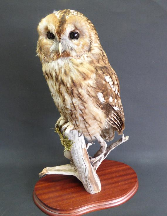 Adrian Johnstone, professional Taxidermist since 1981. Supplier to private collectors, schools, museums, businesses, and the entertainment world. Taxidermy is highly collectable. A taxidermy stuffed Tawny Owl (9355) in excellent condition.