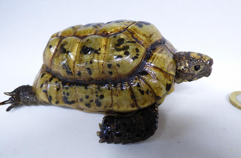 Adrian Johnstone, professional Taxidermist since 1981. Supplier to private collectors, schools, museums, businesses, and the entertainment world. Taxidermy is highly collectible. A taxidermy stuffed Hermann's Tortoise (506), in excellent condition.