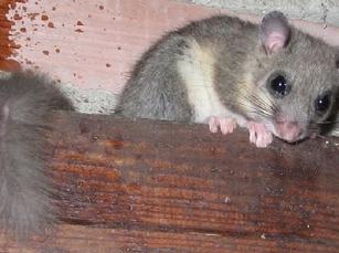 Edible-dormouse-Loir-gris-Glis-glis-France