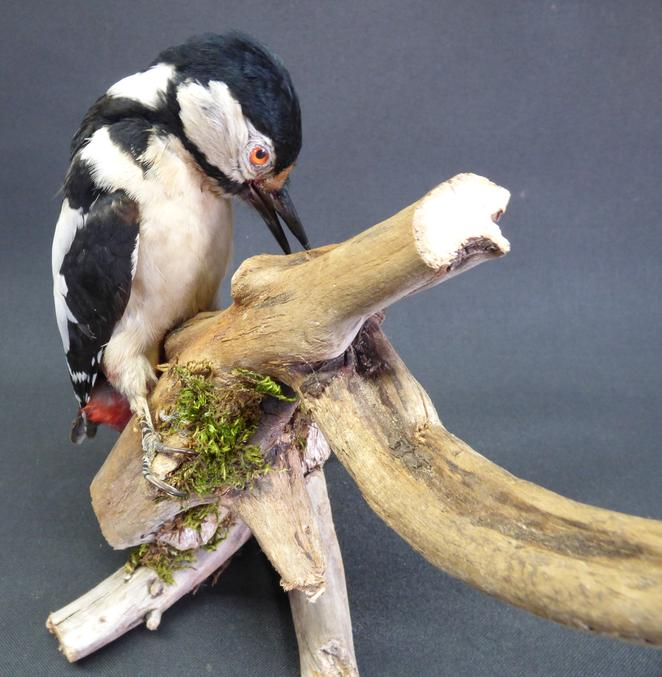 Adrian Johnstone, Professional Taxidermist since 1981. Supplier to private collectors, schools, museums, businesses and the entertainment world. Taxidermy is highly collectible. A taxidermy stuffed Greater Spotted Woodpecker (9681), in excellent condition.