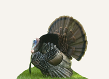 Hunting Merriam Turkey Idaho
