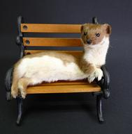 Adrian Johnstone, professional Taxidermist since 1981. Supplier to private collectors, schools, museums, businesses, and the entertainment world. Taxidermy is highly collectable. A taxidermy stuffed Weasel On A Bench (1), in excellent condition.