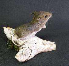 Adrian Johnstone, Professional Taxidermist since 1981. Supplier to private collectors, schools, museums, businesses and the entertainment world. Taxidermy is highly collectable. A taxidermy stuffed Field Mouse (30) in excellent condition.