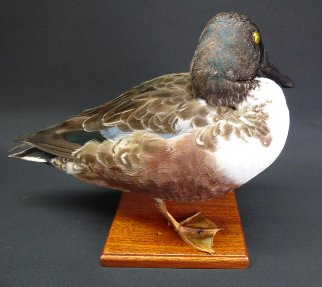 Adrian Johnstone, professional Taxidermist since 1981. Supplier to private collectors, schools, museums, businesses, and the entertainment world. Taxidermy is highly collectable. A taxidermy stuffed adult Shoveler Drake (9543), in excellent condition.