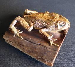 Adrian Johnstone, professional Taxidermist since 1981. Supplier to private collectors, schools, museums, businesses, and the entertainment world. Taxidermy is highly collectable. A taxidermy stuffed Toad (20), in excellent condition.