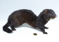 Adrian Johnstone, professional Taxidermist since 1981. Supplier to private collectors, schools, museums, businesses, and the entertainment world. Taxidermy is highly collectable. A taxidermy stuffed American Mink (688) in excellent condition. Mobile: 07745 399515 Email: adrianjohnstone@btinternet.com