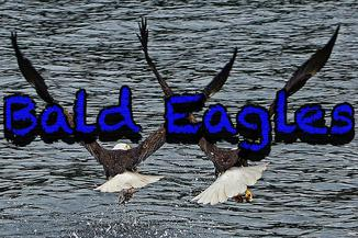 Wildlife Bald Eagles Soaring Ketchikan Alaska