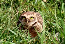 burrowing owls and prairie dogs