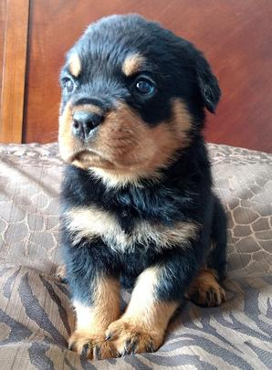 Puppies For Sale In Albuquerque >> German Rottweiler Puppies For Sale, German Rottweiler Puppies For Sale in New Mexico - Vom ...