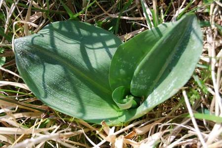 Greater-butterfly-orchid-leaves-France