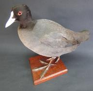 Adrian Johnstone, professional Taxidermist since 1981. Supplier to private collectors, schools, museums, businesses, and the entertainment world. Taxidermy is highly collectable. A taxidermy stuffed adult Coot (9477), in excellent condition.