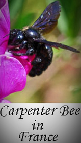 Carpenter-bees-in-France