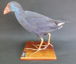 Adrian Johnstone, professional Taxidermist since 1981. Supplier to private collectors, schools, museums, businesses, and the entertainment world. Taxidermy is highly collectable. A taxidermy stuffed Purple Gallinule Swamp Hen (log no:9469), in excellent condition.