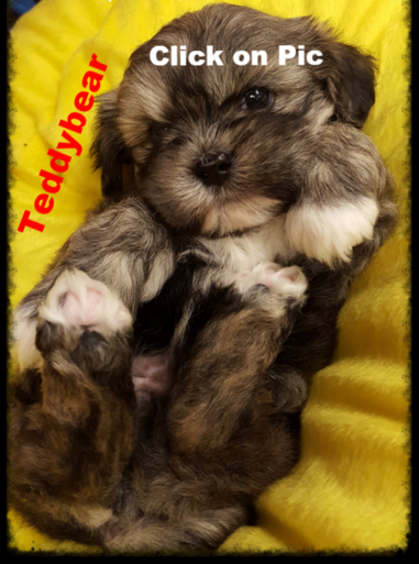 Teddybear puppies for sale in KY