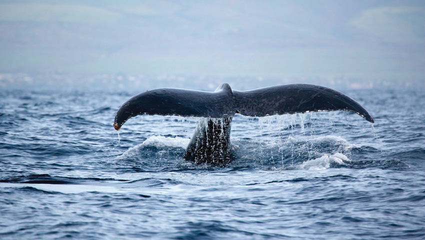 Waikiki Morning Whales Guaranteed, Seasonal